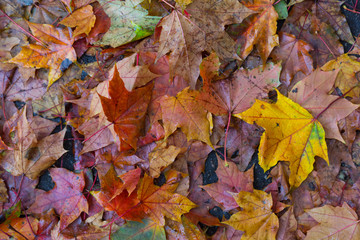multicolor  maple leaves on ground