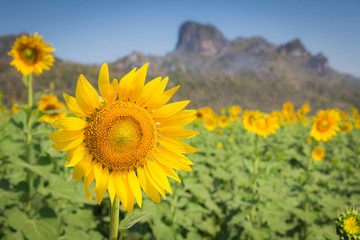 Full bloom sunflowers with mountain background, natural landscape background
