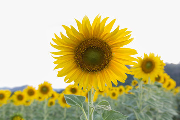Sunflower at full bloom, natural landscape background