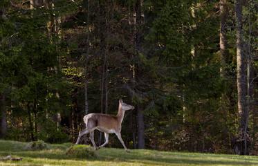 Deer in a Carpathian forest