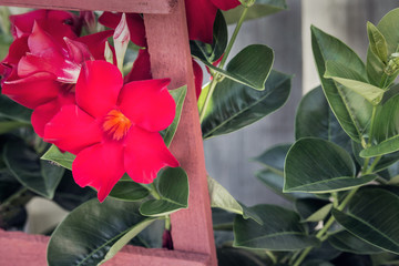 red adenium growing in a garden closeup