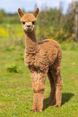 Baby Alpaca Brown