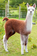 Baby Alpaca Brown and White