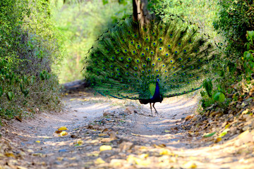 Peacock walking down trail in forest