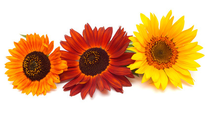 Bouquet of sunflowers flowers red and yellow isolated on white b