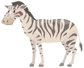 Zebra standing on white background