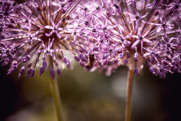 Bee collecting nectar on purple alum garlic flower. macro close-up