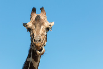 A giraffe close up photo of neck and face