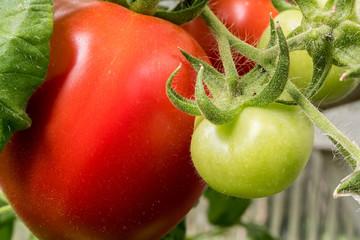 Fotoväggar - Tomate am Strauch - reif und unreif