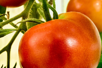 Fotoväggar - große rote Tomate am Strauch - Nahaufnahme