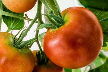 Fotoväggar - rote Tomaten am Strauch - Nahaufnahme