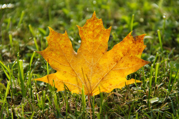 Wall Mural - fallen yellow maple leaf in the grass enlightened with the sun