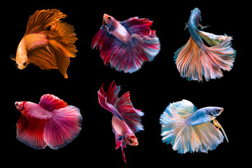 6 capture moving moment siamese fighting fish isolated on black