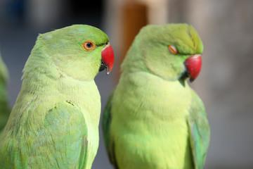 Parakeet, Katar
