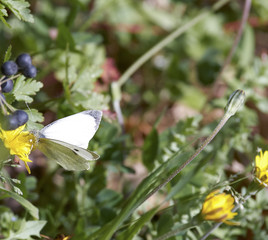 detail of a cabbage butterfly