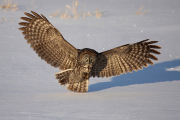 Great grey owl isolated on a white background hunting over a snowy field