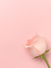 Beautiful rose on a pink  background.