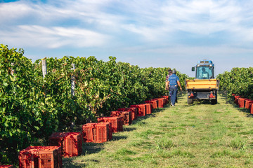 Vineyard harvesting with red grape collecting boxes. Middle autumn