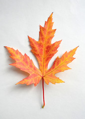 Vivid maple leaf isolated on white background. Autumn bright maple leaf. One isolated orange leaf with red streaks
