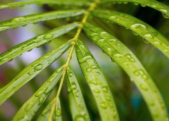 Palm tree leaf with rain water drops closeup