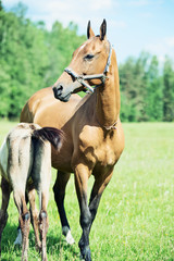 purebred akhalteke dam with foal in the field