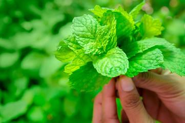 Pudina leaf held in hands, close up shot