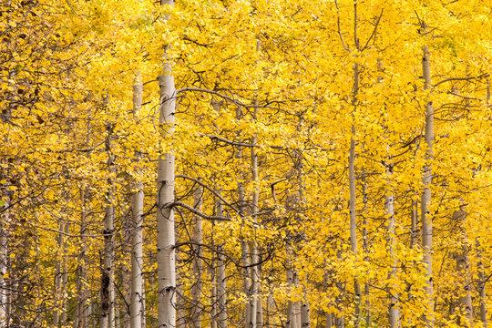 Bright golden aspen leaves, San Juan National Forest