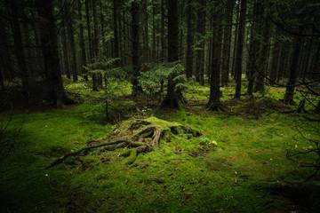 Baumstumpf auf einen Moos bedeckten Waldboden