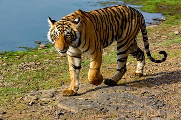 Tiger walking next to a lake