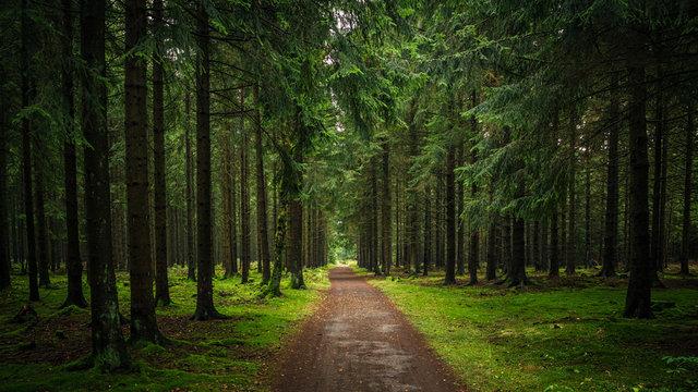 Wanderweg durch einen grünen Fichten Wald