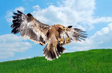 flying hawk attack Wall mural