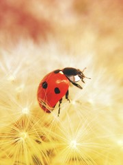 Ladybird on a dandelion clock