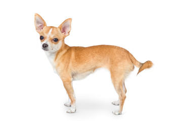 Small chihuahua dog