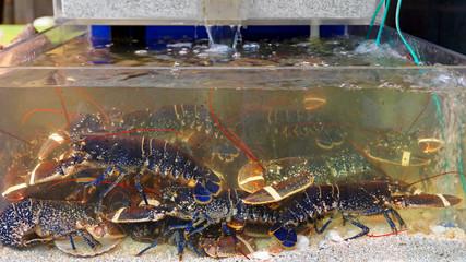 Lobsters in Water
