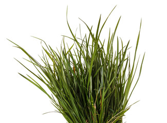 bundle of green grass isolated on white background