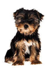 Front view of a Yorkshire Terrier, isolated on white