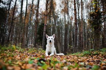 White Swiss shepherd dog in autumn forest
