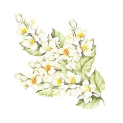 The sprig of Jasmine. Hand draw watercolor illustration