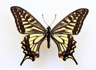 Asian Swallowtail (Papilio xuthus) specimen isolated