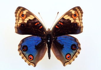 Nymphalid butterfly(Junonia orithya) specimen isolated