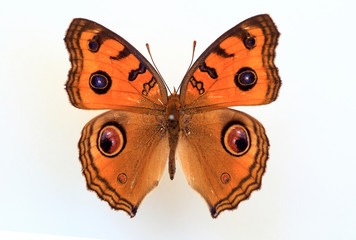 Peacock pansy (Junonia almana) specimen isolated