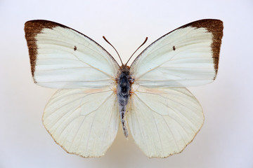 The common albatross (Appias albina) specimen isolated