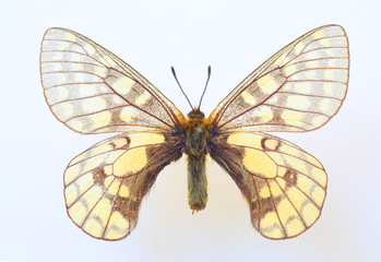 Eversmann's parnassian(Parnassius eversmanni) specimen isolated