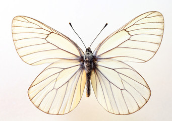 The black-veined white(Aporia crataegi) specimen isolated