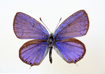 The Transparent Six-line Blue (Nacaduba kurav) specimen isolated