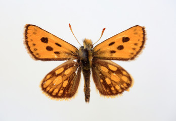 Carterocephalus sylvicola specimen isolated