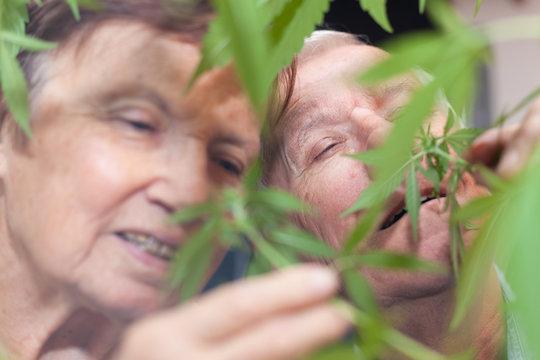 Happy senior couple smelling Cannabis plant