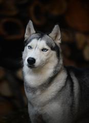 portrait of a dog breed Siberian Husky