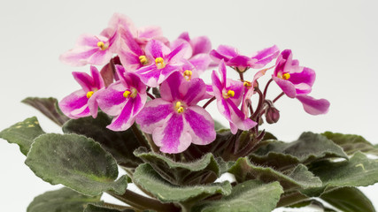 African violet (Saint-paulia ionantha) with beautiful flowers details