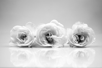 Black and white, beautiful, delicate rose